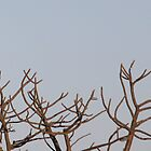 Shikra and Cape Turtle Dove by Antionette