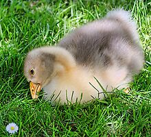 Young Gosling 2 by Susie Peek