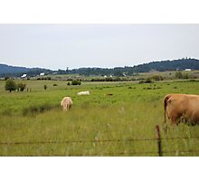 Cows in a field Photographic Print