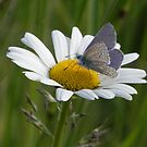 Blue Butterfly & Big Daisy by Lisa Kent