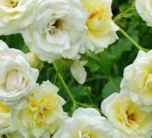 White roses in the garden. Sticker