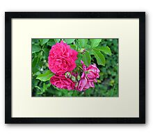 Pink roses and green leaves, natural background. Framed Print