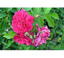 Pink roses and green leaves, natural background. Photographic Print