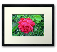 Pink rose and green leaves, natural background. Framed Print