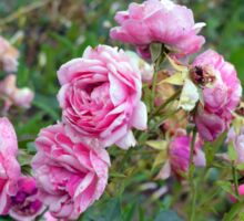 Pink roses in the garden, natural background. Sticker