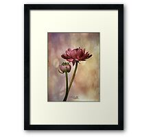 Ranunculus - Dad's Favourite Framed Print