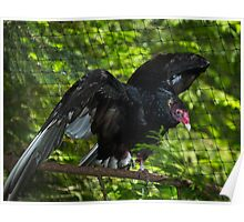 Turkey Vulture Poster