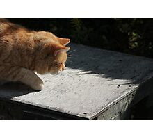 Ginger cat hunting a fly Photographic Print