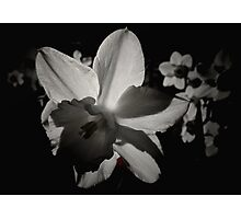 Daffodil in the Dark II Photographic Print