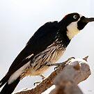 acorn woodpecker by Dennis Cheeseman