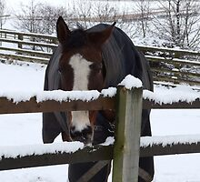 Cold horse in the snow by Tony Blakie