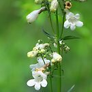 Foxglove Beardtongue by lorilee