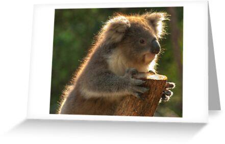 0252 Young Koala by DavidsArt