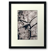 Female Red Winged Blackbird in a Tree Framed Print