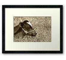 Calf With a Halter Framed Print