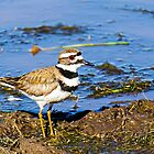 Killdeer by George I. Davidson