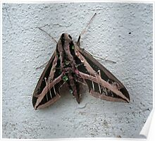 Sphinx Moth After Rain Poster
