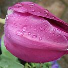 Tearful Tulip by MidnightMelody