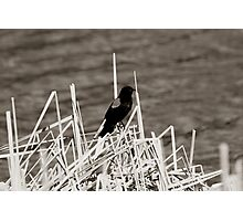 Red Winged Blackbird Perched on Marsh Grass Photographic Print