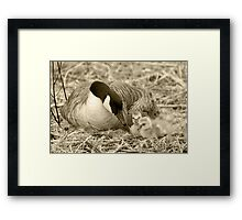 Canada Goose and Two Goslings Framed Print
