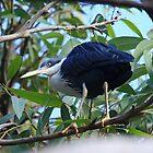 Pied Heron   -  Lake Mitchell - Atherton TL  - FNQ by john  Lenagan