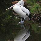 Australian Pelican    - Albert Park  Lake - Melbourne by john  Lenagan