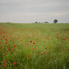 Poppies in a field by playwell