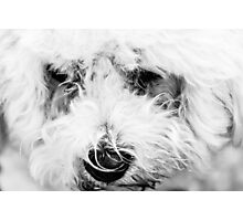White Dog Photographic Print