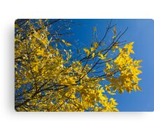 Yellow Leaves on Fall Tree Canvas Print