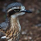 bush stone curlew by adimski95