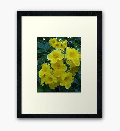 Yellow Elder  Framed Print