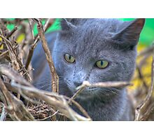 Silver Cat Photographic Print