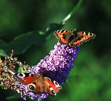 The butterfly bush by turniptowers