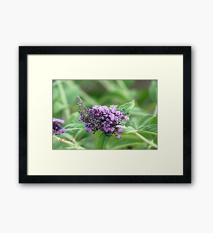 Butterfly-Bush (Buddleja davidii) Framed Print
