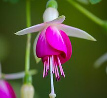Fuchsia by RandyHume