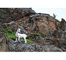 Dall's Sheep Up On The Mountain Photographic Print