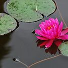 Waterlily by Cathy Jones