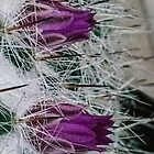 Small cactus flowers amid spikes 20160503 6952  by Fred Mitchell