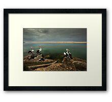 Australian pelicans sunbathing Framed Print