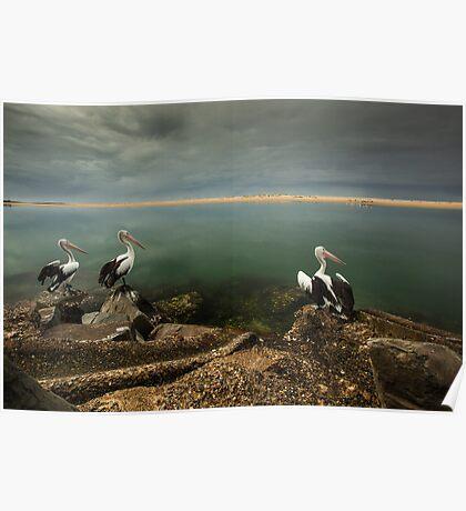 Australian pelicans sunbathing Poster