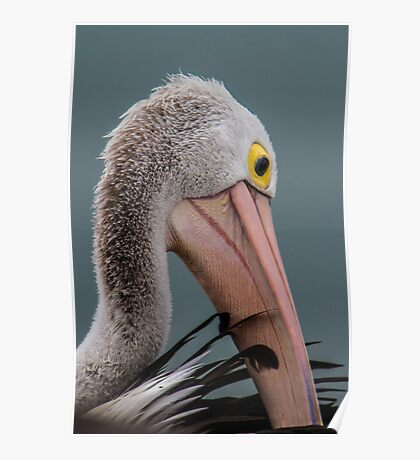 Australian pelican portrait Poster