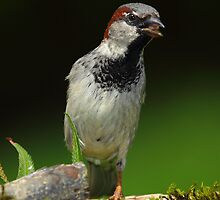 House Sparrow by RandyHume