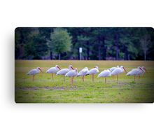 Ibises On The Ball Field Canvas Print