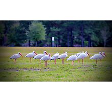 Ibises On The Ball Field Photographic Print