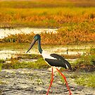 Jabiru Stalking :) by Penny Smith