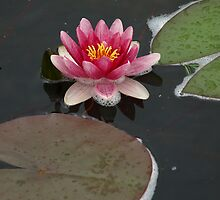 Water Lily Reflections by cbeers5009