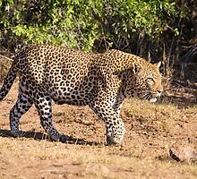 Stalking Leopard in Kruger National Park, South Africa by Robert Kelch, M.D.