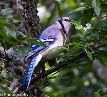 Blue Jay in a tree peeking from behind a leaf by Dwellsphoto
