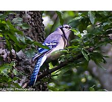 Blue Jay in a tree peeking from behind a leaf Photographic Print