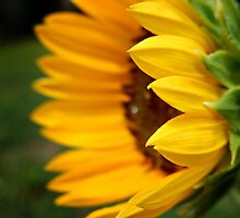 SUNFLOWER PROFILE by Sandra  Aguirre